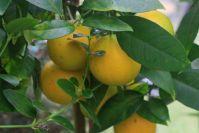 Orangen aus eigener Ernte