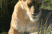 Auch satte Löwen entspannen schläfrig