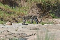 Bei der Durchquerung sehen wir den nächsen Leoparden!