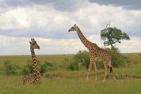 Die liegende Giraffe hatte ein verletztes Bein; der junge Bulle war sichtlich besorgt um sie