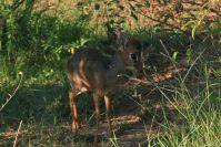 Ein Dik-Dik, der kleinste Hirsch der Welt