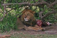 Schon wieder Löwen! Der Rudel-Chef mit der nächtlichen Beute