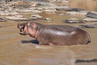 Ein großes Flusspferd