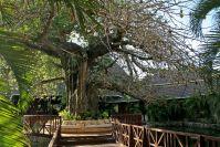 Baobab, der Affenbrotbaum