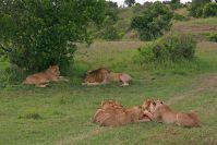 Ein zufriedenes Löwenrudel nach dem großen Fressen. Es gab Büffelkalb.
