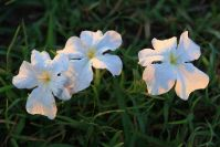 """""""Tissue Flowers"""" bedeckten die Savanne bis zum Horizont"""