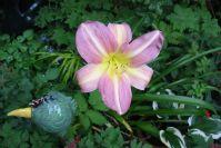 Taglilien blühen sogar im Schatten