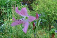 Eine Hakenlilie
