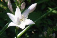 Hosta-Blüte im Detail