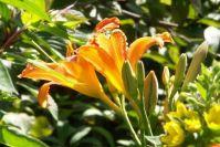Strahlende Taglilien