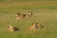 Löwen!