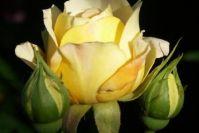 'Yellow Charles Austin'