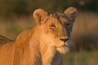 Der Sonnenaufgang vergoldet sogar das Löwenfell