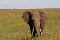 Elefantenbulle kommt