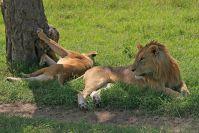 Ein Löwenpaar in Hochzeitsstimmung