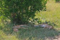 Löwen sahen wir auf beinah jeder Pirschfahrt
