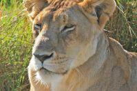 Eine zufrieden dösende Löwin