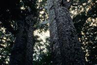 im Kauri-Wald