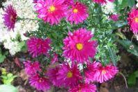 Raublattastern sind sehr zuverlässige Blüher