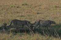 Eine erfolgreiche Geparden-Mutter mit drei halbwüchsigen Söhnen