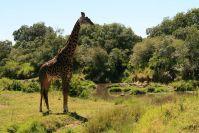 Giraffen suchen die Sonne zum Wiederkäuen