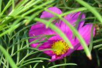 Cosmeen blühen sehr lange!