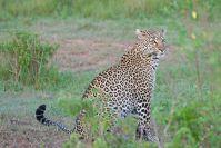 Auf der letzten Pirschfahrt sahen wir den dritten Leoparden: Es ist der (Halb-) Bruder der beiden Schönen vom Anfang