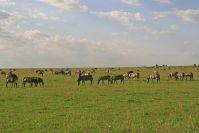 Etliche kleine Herden wurden noch in der Mara satt