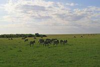 Dank der ungewöhnlich vielen Regenfälle waren nicht alle Zebras in die Serengeti gezogen