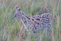 Ein kleiner Geist im hohen Gras: Eine Serval-Katze !