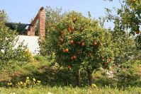 Zitrus-Schau-Plantage
