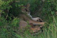 Eine Löwenmutter mit zehn Tage jungen Welpen - ihr Auge wurde von einer Spei-Kobra verletzt!