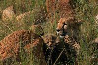 """Nochmal die Gepardin """"Shakira"""": Sie hat ihre winzigen Jungen fort von den Felsen ins offene Grasland gebracht"""