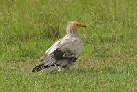 Selten: Ein weißer Adler