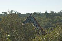 Ja, Giraffen sind große Tiere!