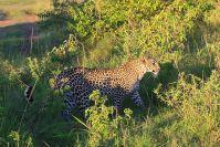 """Eine Leopardin, es ist """"Bindy"""" aus dem Big Cat Diary vom BBC"""