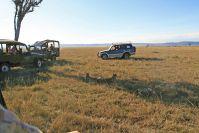 Wie immer standen etliche Fahrzeuge um die Geparden herum, was sie nicht weiter zu stören scheint