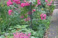 Rose 'Palmengarten Frankfurt' mit einem Bartfaden