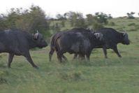 Die ersten Büffel liefen vor unserem Landrover weg!