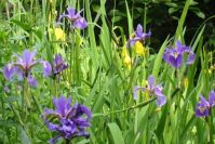 Sumpfschwertlilien