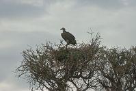 Wartende Geier auf dem Aussichtsbaum