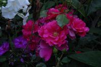 Rosen passen durchaus zu Phloxen!