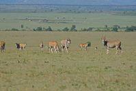 Selten zu sehen: Die imposanten Elen-Antilopen