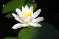 Natürlich blühen auch Seerosen im kleinen Teich
