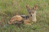 Ein Schakal lag entspannt im Gras; so nah kamen wir sonst nie an sie ran.